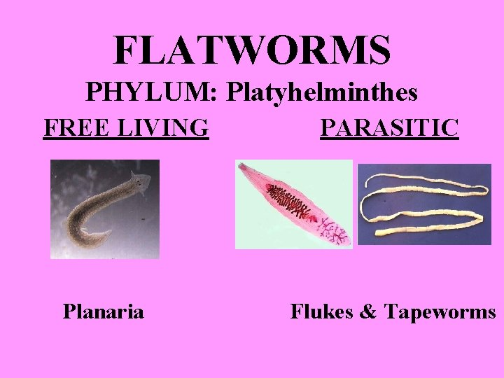FLATWORMS PHYLUM: Platyhelminthes FREE LIVING Planaria PARASITIC Flukes & Tapeworms