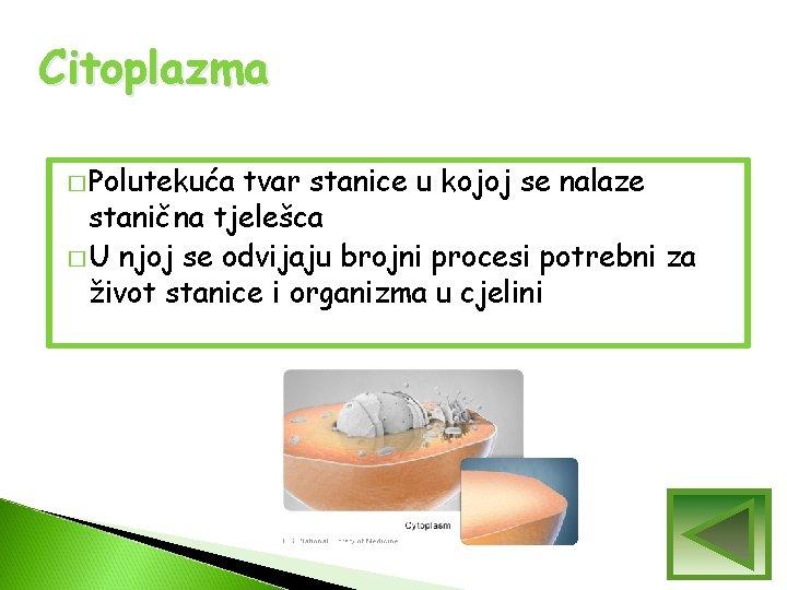 Citoplazma � Polutekuća tvar stanice u kojoj se nalaze stanična tjelešca � U njoj