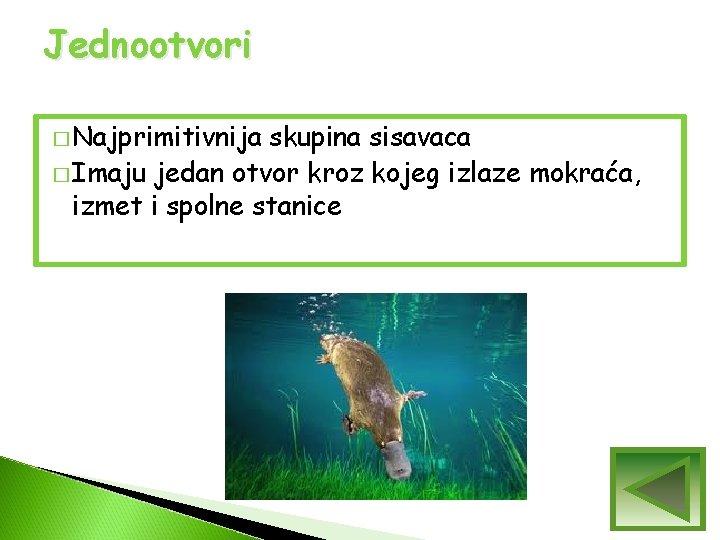 Jednootvori � Najprimitivnija skupina sisavaca � Imaju jedan otvor kroz kojeg izlaze mokraća, izmet