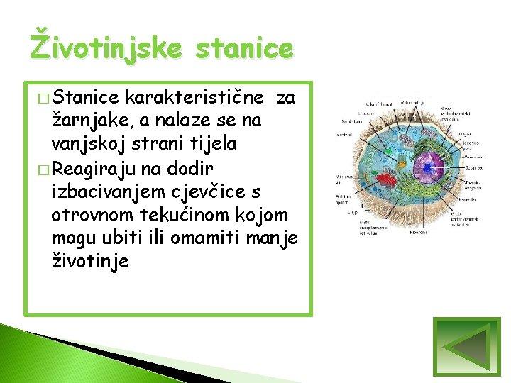 Životinjske stanice � Stanice karakteristične za žarnjake, a nalaze se na vanjskoj strani tijela