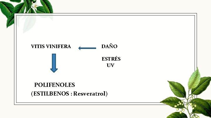 VITIS VINIFERA DAÑO ESTRÉS UV POLIFENOLES (ESTILBENOS : Resveratrol)