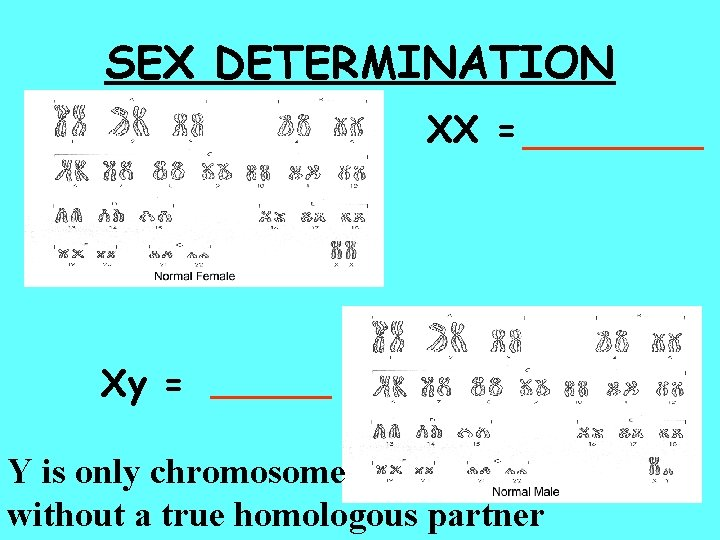 SEX DETERMINATION XX = _____ Xy = ______ Y is only chromosome without a