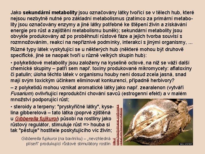 """Gibberella fujikuroi (na bavlníku) – """"nevzhledná plíseň"""" produkující růstové stimulátory rostlin http: // www."""
