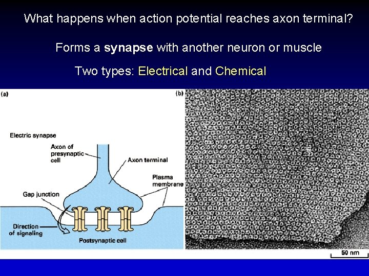 What happens when action potential reaches axon terminal? Forms a synapse with another neuron