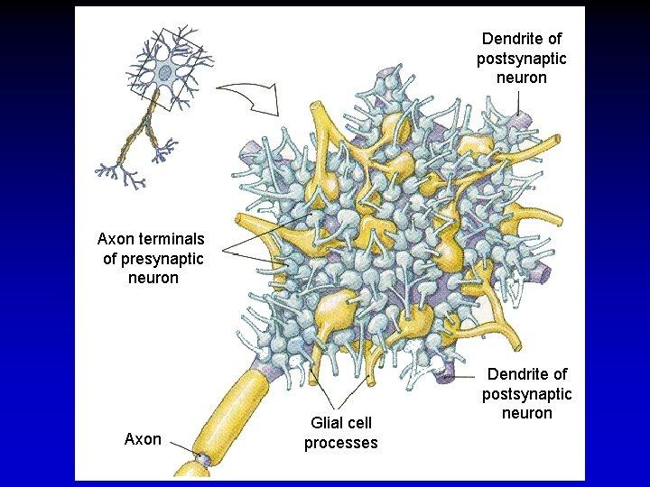 Dendrite of postsynaptic neuron Axon terminals of presynaptic neuron Axon Glial cell processes Dendrite