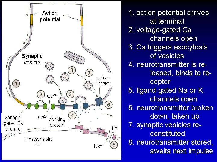 Action potential Synaptic vesicle active uptake Ca 2+ voltagegated Ca channel Ca 2+ docking