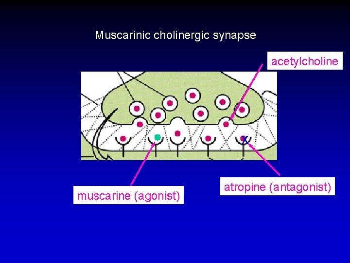 Muscarinic cholinergic synapse acetylcholine X muscarine (agonist) atropine (antagonist)