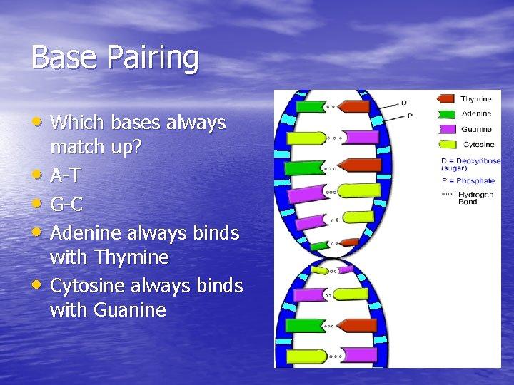 Base Pairing • Which bases always • • match up? A-T G-C Adenine always