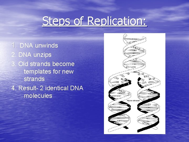 Steps of Replication: 1. DNA unwinds 2. DNA unzips 3. Old strands become templates