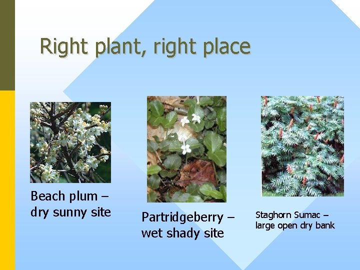 Right plant, right place Beach plum – dry sunny site Partridgeberry – wet shady