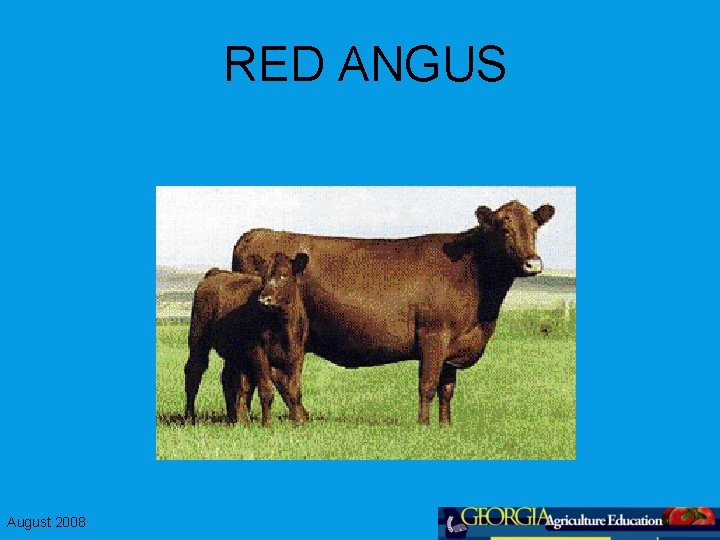RED ANGUS August 2008