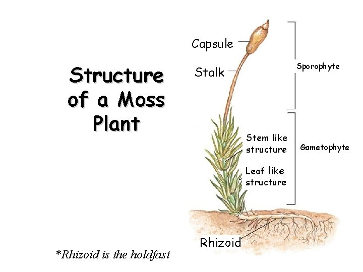 Capsule Structure of a Moss Plant Sporophyte Stalk Stem like structure Leaf like structure