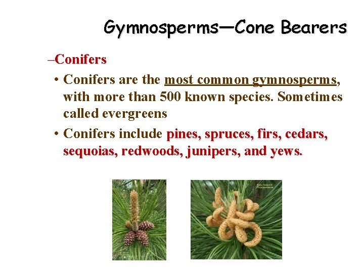 Gymnosperms—Cone Bearers –Conifers • Conifers are the most common gymnosperms, with more than 500