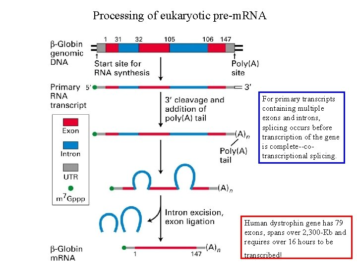 Processing of eukaryotic pre-m. RNA For primary transcripts containing multiple exons and introns, splicing
