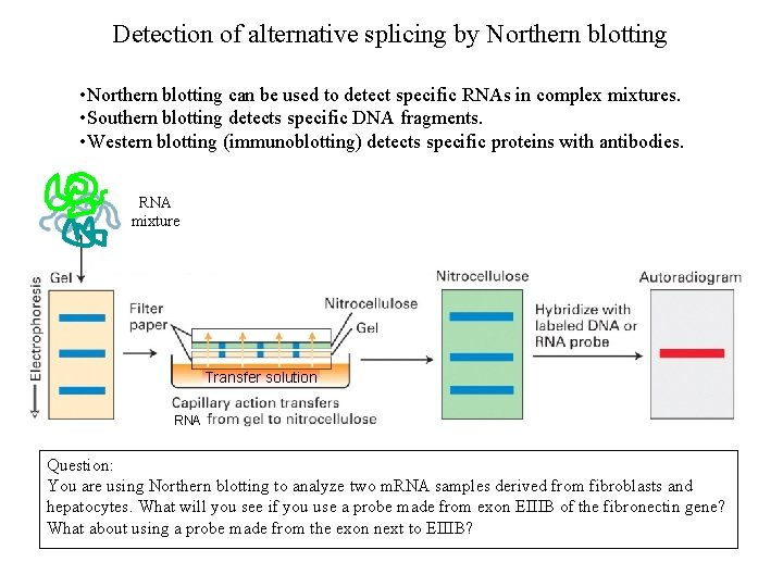 Detection of alternative splicing by Northern blotting • Northern blotting can be used to