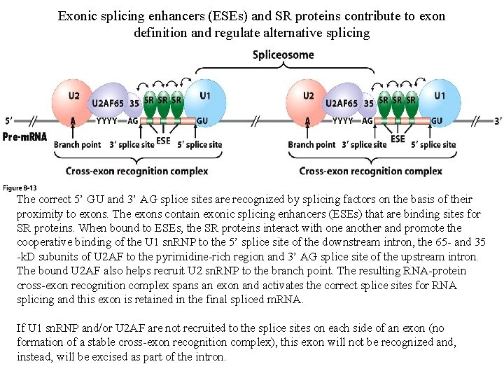 Exonic splicing enhancers (ESEs) and SR proteins contribute to exon definition and regulate alternative