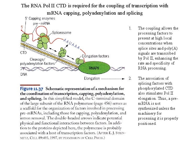 The RNA Pol II CTD is required for the coupling of transcription with m.