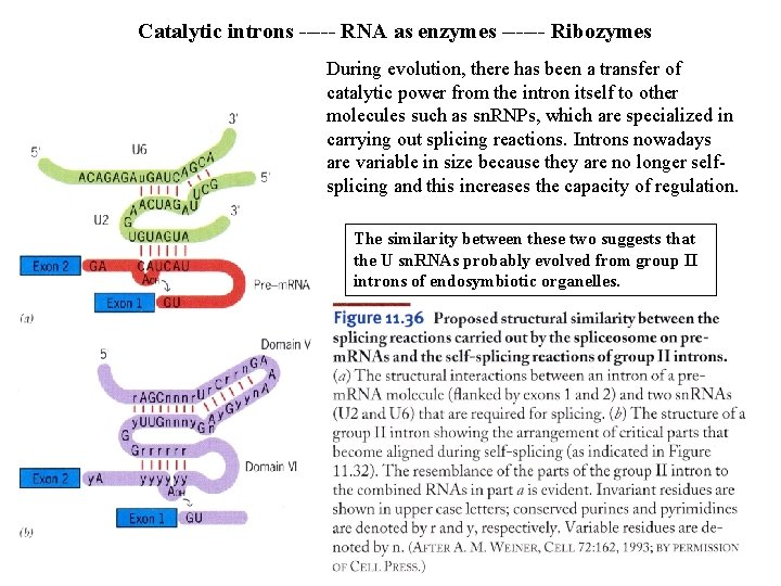 Catalytic introns ----- RNA as enzymes ------ Ribozymes During evolution, there has been a
