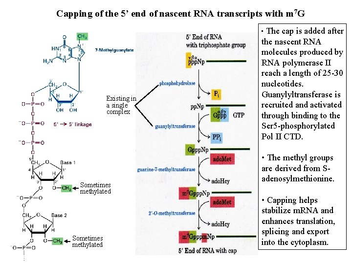 Capping of the 5' end of nascent RNA transcripts with m 7 G •