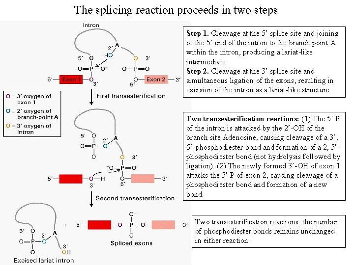 The splicing reaction proceeds in two steps Step 1. Cleavage at the 5' splice