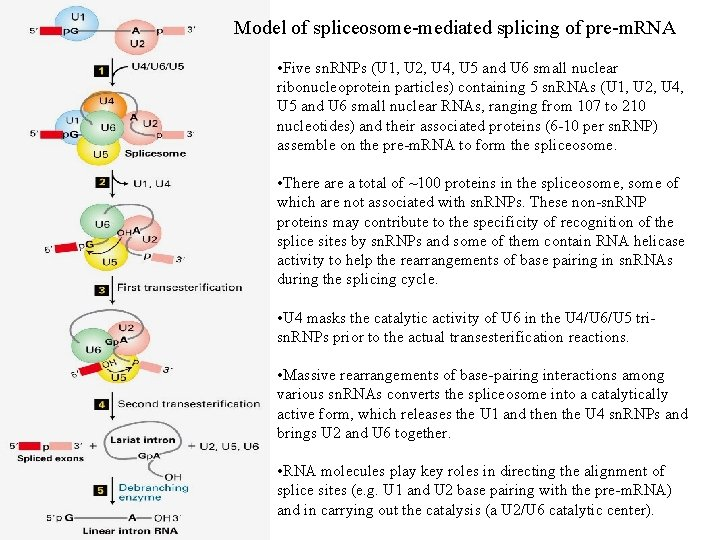 Model of spliceosome-mediated splicing of pre-m. RNA • Five sn. RNPs (U 1, U