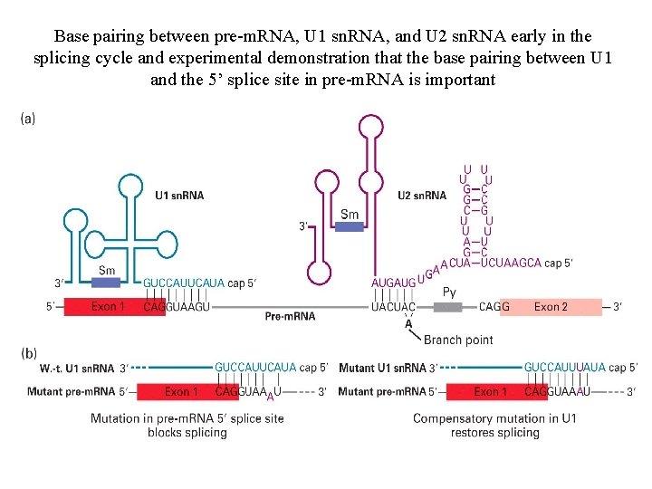 Base pairing between pre-m. RNA, U 1 sn. RNA, and U 2 sn. RNA