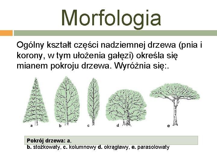 Morfologia Ogólny kształt części nadziemnej drzewa (pnia i korony, w tym ułożenia gałęzi) określa