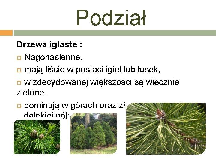 Podział Drzewa iglaste : Nagonasienne, mają liście w postaci igieł lub łusek, w zdecydowanej
