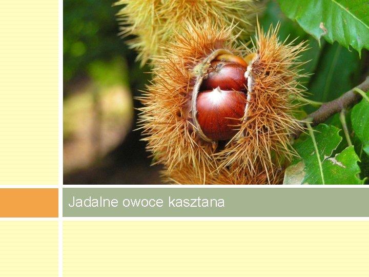 Jadalne owoce kasztana