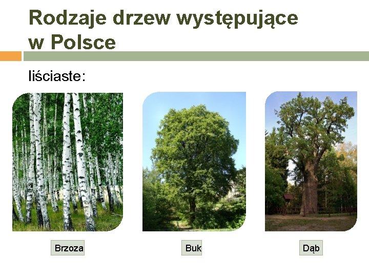 Rodzaje drzew występujące w Polsce liściaste: Brzoza Buk Dąb