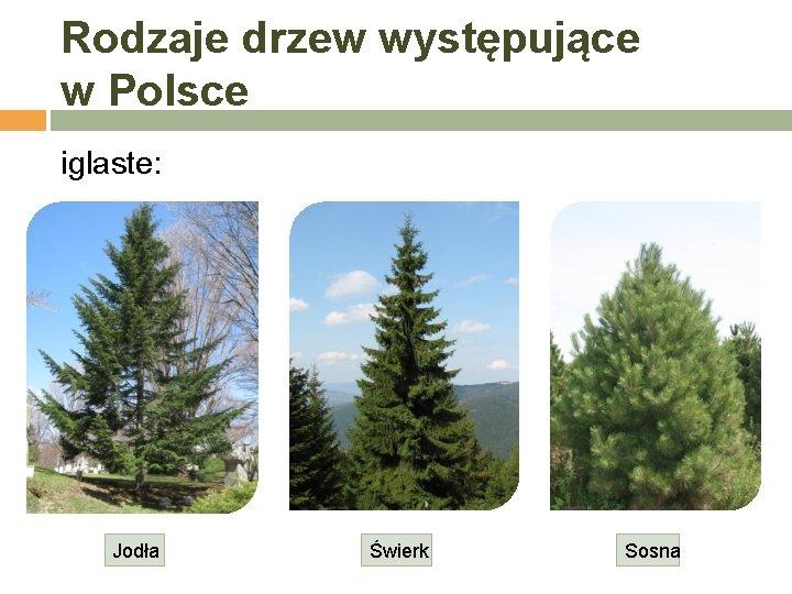 Rodzaje drzew występujące w Polsce iglaste: Jodła Świerk Sosna