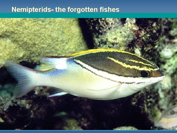 Nemipterids- the forgotten fishes
