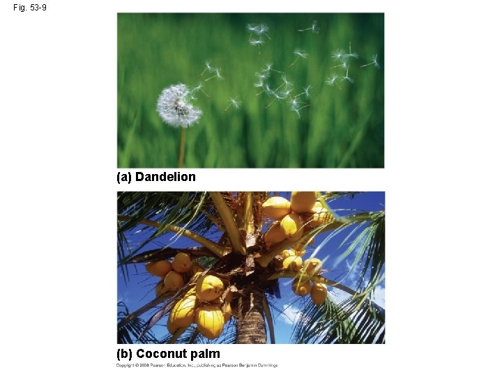 Fig. 53 -9 (a) Dandelion (b) Coconut palm