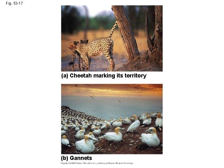 Fig. 53 -17 (a) Cheetah marking its territory (b) Gannets