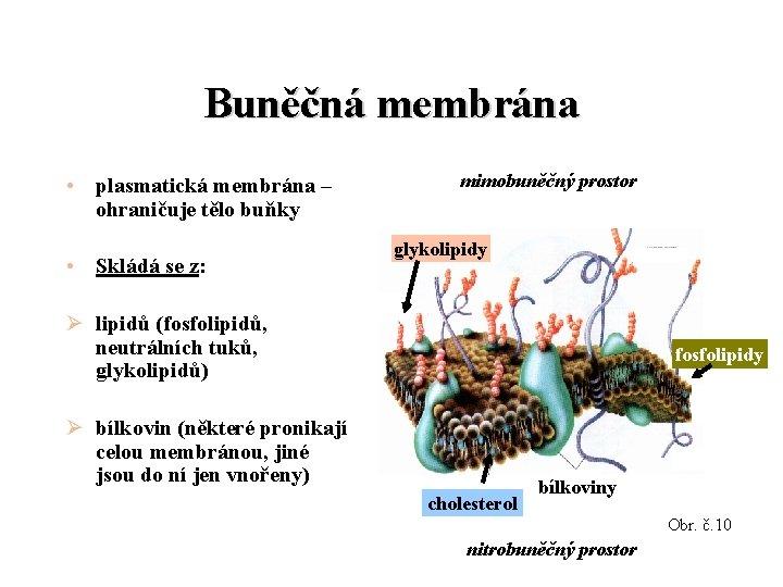Buněčná membrána • plasmatická membrána – ohraničuje tělo buňky • Skládá se z: mimobuněčný