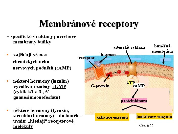 Membránové receptory = specifické struktury povrchové membrány buňky adenylát cykláza • zajišťují přenos chemických