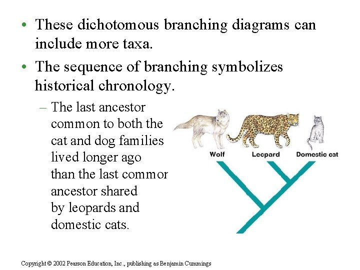 • These dichotomous branching diagrams can include more taxa. • The sequence of