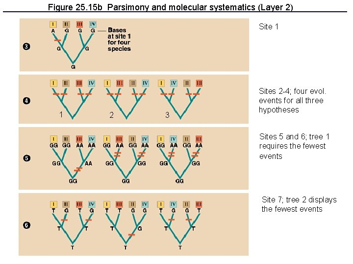 Figure 25. 15 b Parsimony and molecular systematics (Layer 2) Site 1 1 2