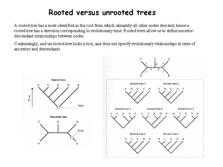 Rooted versus unrooted trees A rooted tree has a node identified as the root