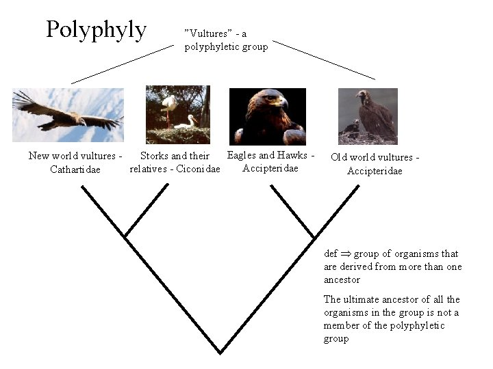 """Polyphyly """"Vultures"""" - a polyphyletic group Eagles and Hawks Storks and their New world"""