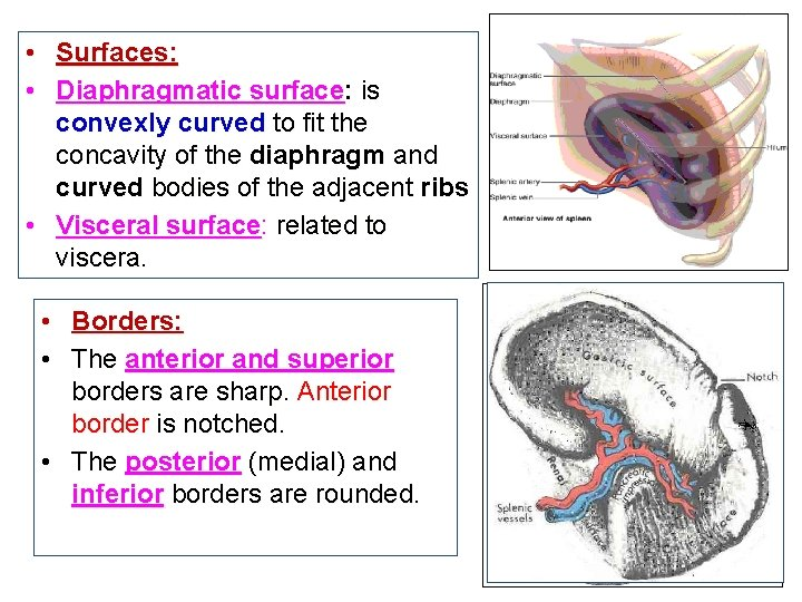 • Surfaces: • Diaphragmatic surface: is convexly curved to fit the concavity of