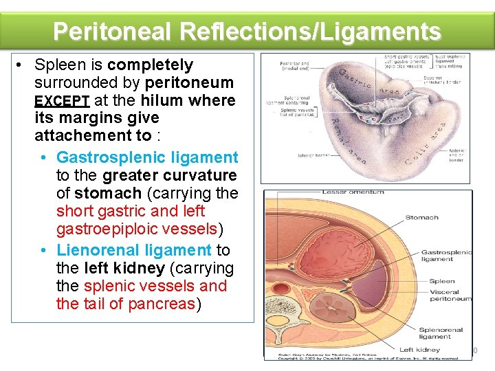 Peritoneal Reflections/Ligaments • Spleen is completely surrounded by peritoneum EXCEPT at the hilum where