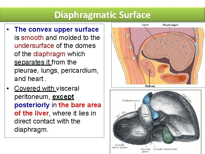 Diaphragmatic Surface • The convex upper surface is smooth and molded to the undersurface