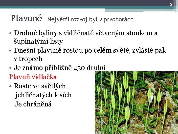 3 Plavuně Největší rozvoj byl v prvohorách • Drobné byliny s vidličnatě větveným stonkem