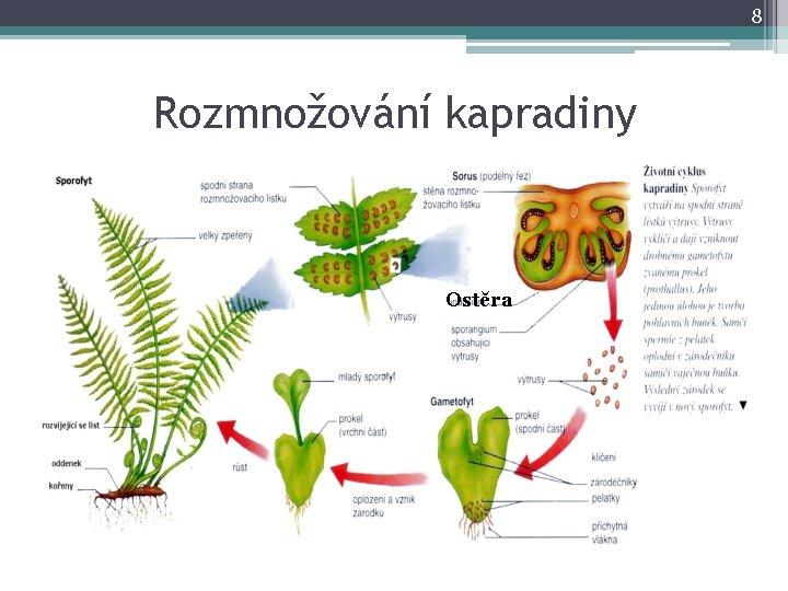 8 Rozmnožování kapradiny Ostěra