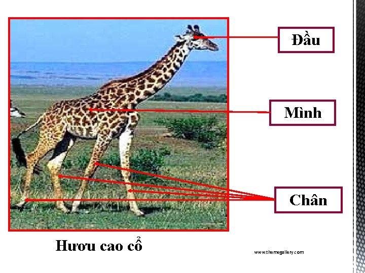 Đầu Mình Chân Hươu cao cổ www. themegallery. com