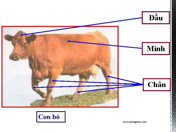 Đầu Mình Chân Con bò www. themegallery. com