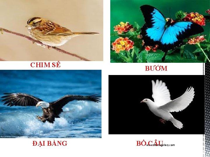 CHIM SẺ ĐẠI BÀNG BƯỚM BỒwww. themegallery. com C U