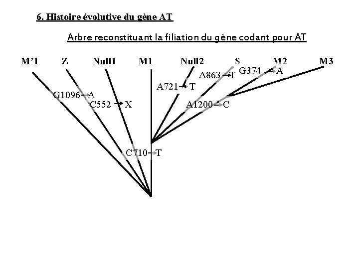 6. Histoire évolutive du gène AT Arbre reconstituant la filiation du gène codant pour
