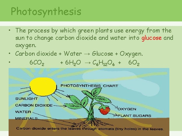 Photosynthesis • The process by which green plants use energy from the sun to